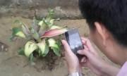 Cây chuối bị chặt vẫn trổ 6 bắp hoa