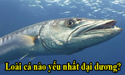 Loài cá nào yếu nhất đại dương?