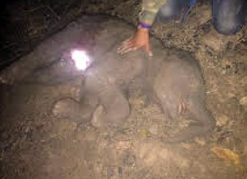 Chú voi vừa mới sinh đã tử vong. Ảnh: Kh. Uyên