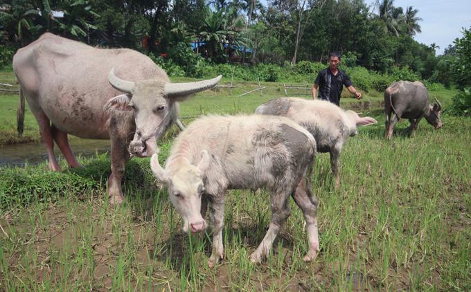 Nông dân sở hữu nhiều trâu trắng nhất Quảng Nam