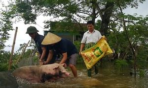 Người dân ôm lợn, dắt bò lên đường giao thông tránh lũ