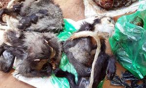 Hàng chục con voọc và khỉ trong quán nhậu ở Lâm Đồng