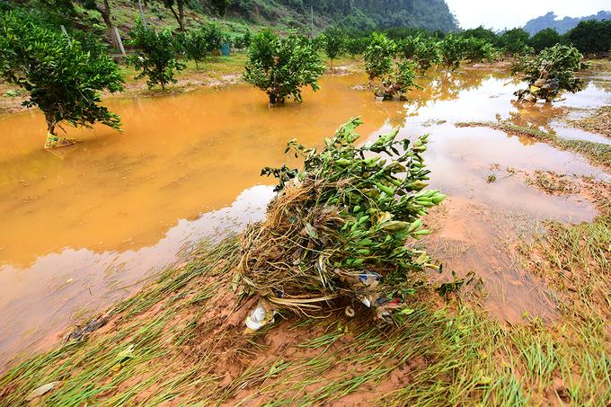 Hàng nghìn cây cam Cao Phong bật gốc, rụng quả