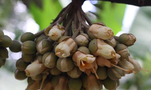 Vườn sầu riêng nở hoa trái mùa