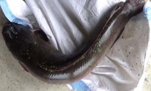 Bắt được cá trê 10 kg, dài hơn một mét ở đầm hoang Sài Gòn