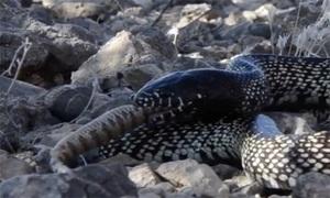 Rắn vua đoạt mạng rắn đuôi chuông kịch độc trong hai phút