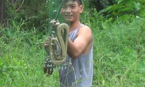 Đặt 11 bẫy dính được 6 rắn hổ mang ở Hà Nội