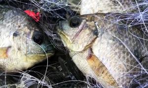 Đập sào xuống nước đuổi cá rô phi vào lưới ở miền Tây