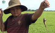 Tuyệt chiêu câu ếch của 3 đứa trẻ trên ruộng lúa miền Tây