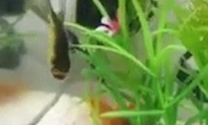 Cá vàng không đầu bơi quanh bể nước suốt ba ngày