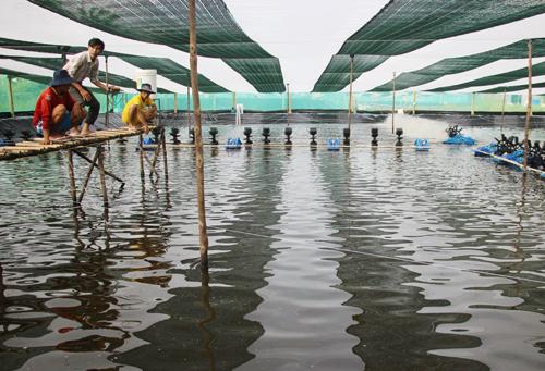 Ao nuôi trên dưới 1.000 m2 đem lại nguồn thu vài trăm triệu đồng sau ba tháng nuôi. Ảnh: Phúc Hưng.