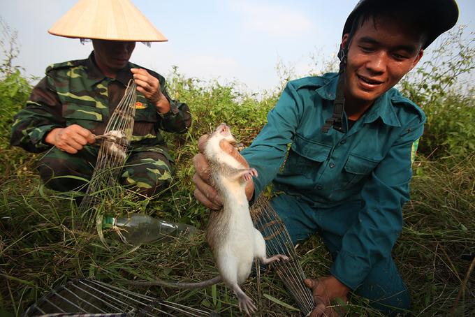 Người Hà Nội lội bùn bắt chuột đồng
