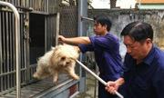 Chó thả rông ở Sài Gòn sao không phân loại mà tiêu hủy?