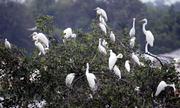 Đàn cò hàng nghìn con trú ngụ ở khu vườn Quảng Nam