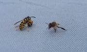 Tò vò cắn đứt đôi thân ong nghệ