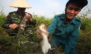 Lùa chó săn chuột đồng ở Hà Nội
