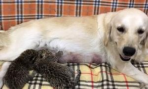 Chó mẹ chăm sóc đôi báo con bị mẹ ruột bỏ rơi