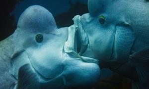 Bị ve vãn, cá cái tự chuyển giới để tấn công con đực