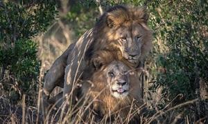 Sư tử đực đồng tính giao phối trong khu bảo tồn Kenya