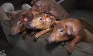 Dùng thảo dược 'tẩm bổ' cho lợn