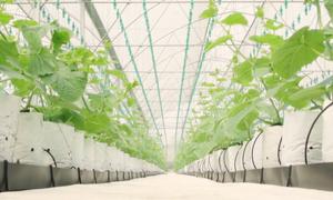 21ha dưa lưới trồng bằng công nghệ cao tại Hà Nam