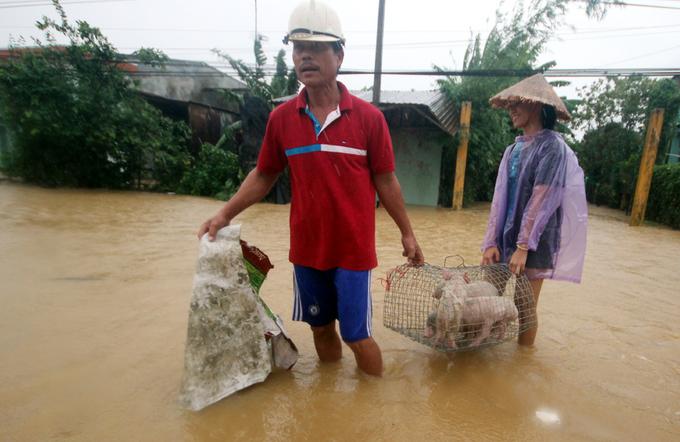 Người dân Quảng Nam đưa heo, bò chạy lũ