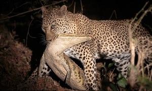 Báo châu Phi giết và ăn thịt cá sấu dài hai mét