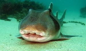 Hàng trăm con cá mập nằm cạnh nhau dưới đáy biển Australia