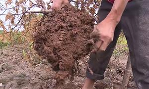 Hàng nghìn cây đào, quất ở Nam Định chết khô do ngập úng