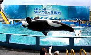 Giải cứu cá voi sát thủ 50 năm không thấy đại dương