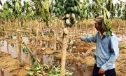 Hàng trăm hecta đu đủ héo lá, rụng trái sau lũ