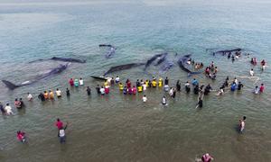 Chiến dịch xuyên đêm giải cứu 10 con cá nhà táng mắc cạn