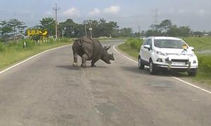 Ôtô tháo chạy tán loạn vì bị tê giác truy đuổi giữa đường