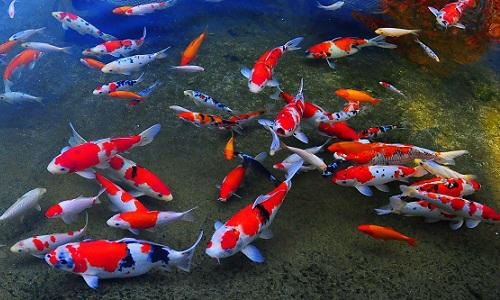 Cá chép Koi là biểu tượng của nước nào?