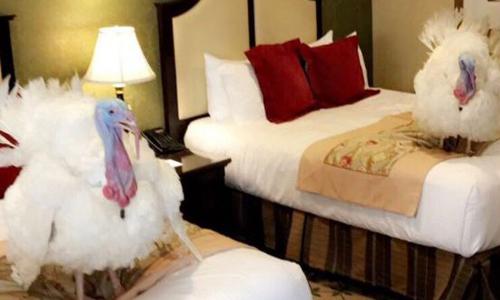 Cặp gà tây trong phòng khách sạn ở trung tâm Washington D.C. Ảnh: Twitter.