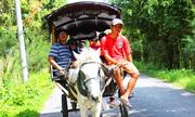 Nuôi ngựa kéo xe chở khách tham quan cồn miền Tây