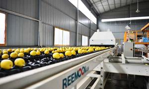 Dây chuyền tự động phân loại cam sau thu hoạch ở Trung Quốc