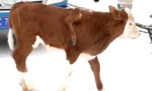 Bê đột biến có một chân vắt trên lưng ở Trung Quốc