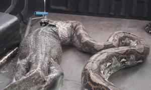 Trăn đánh mất kỳ đà dài 1,5 mét khi được giải cứu
