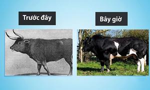 Những thay đổi của vật nuôi từ khi được thuần hóa