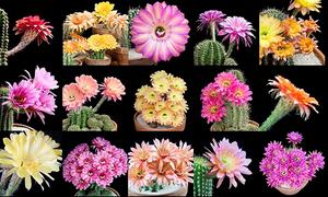 Vẻ đẹp khi bung nở của hoa xương rồng
