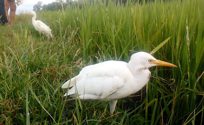 Đàn cò di cư bay trắng cánh đồng ở Quảng Nam