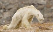 Gấu Bắc cực gầy trơ xương nằm chờ chết trên hòn đảo không băng