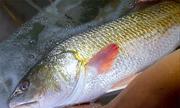 Cá giống sủ vàng được trả giá gần nửa tỷ đồng