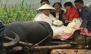 Đám cưới rước dâu bằng xe trâu ở Phú Thọ