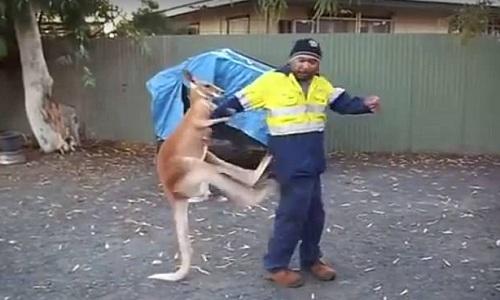 Kết quả hình ảnh cho Con kangaroo trẻ tuổi không ngừng tung cước tấn công người đàn ông Australia suốt ba phút như một đấu sĩ chuyên nghiệp.