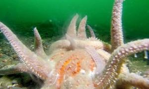 Cặp sao biển giao phối dưới đáy đại dương