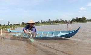Nông dân miền Tây nuôi cá trên ruộng lúa