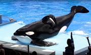 Thủ phạm làm cong vây lưng của cá voi sát thủ nuôi nhốt