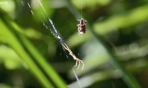 Màn săn mồi của loài nhện chuyên ăn thịt đồng loại